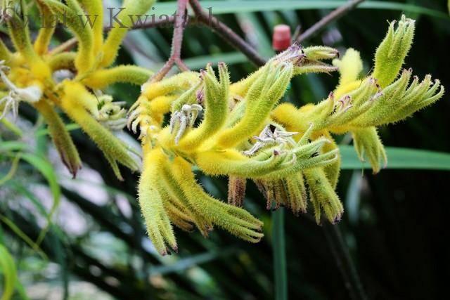 Zdjęcia roślin Anigozanthos, kangurza łapa