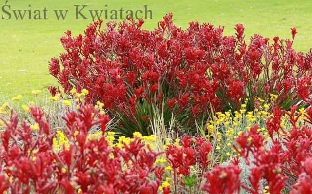 Kwiat doniczkowy kangurza łapa, anigozanthos