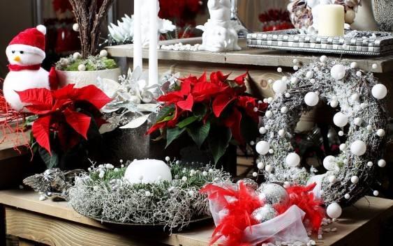 Poinsecja symbol Świąt Bożego Narodzenia
