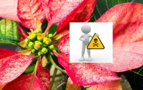 Czy Gwiazda betlejemska to trująca roślina doniczkowa?