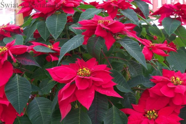 gwiazda betlejemska piękne i śmiertelne rośliny
