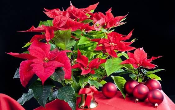 Kwiaty Na Boze Narodzenie