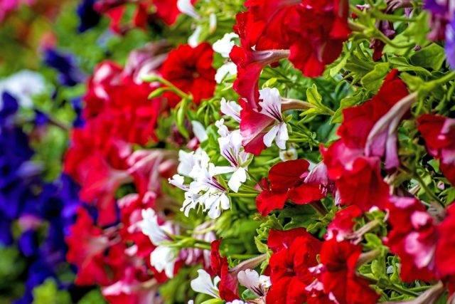 kolorowe petunie
