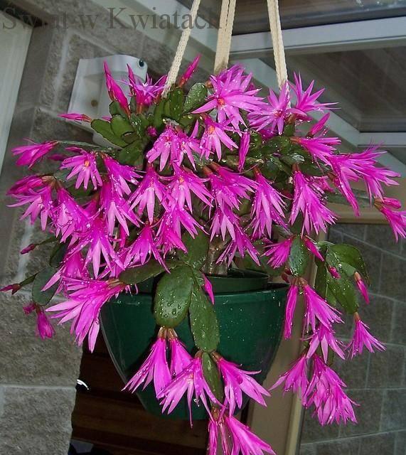 kaktus wielkanocny
