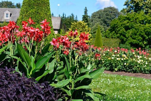 rośliny cebulowe sadzone wiosną kanny