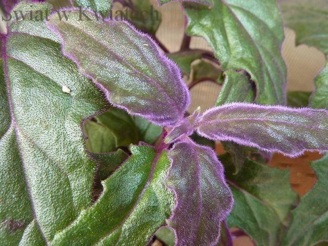 ginura roślina doniczkowa