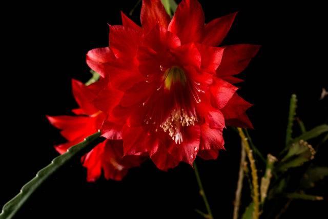 Epiphyllum (Epifyllum)