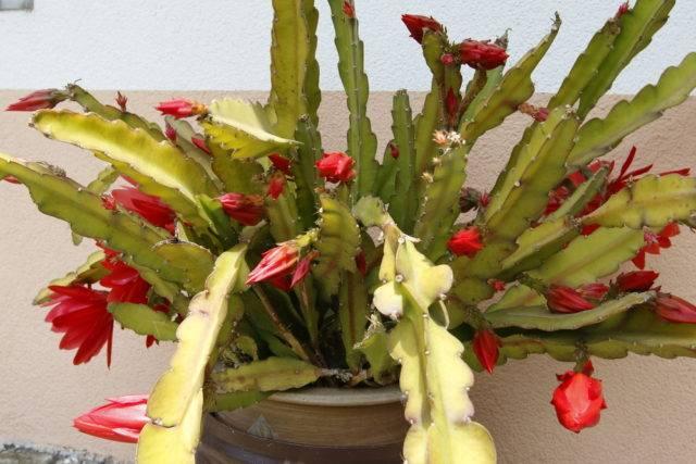 Epiphyllum czerwony