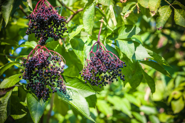 jakie rośliny odstraszają krety czarny bez