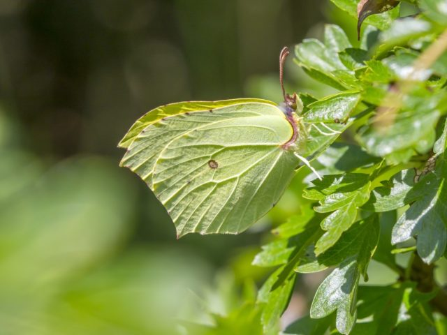 owad motyl Latolistek cytrynek