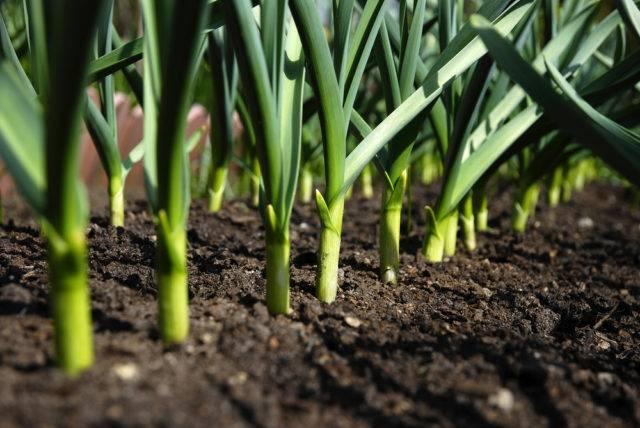 rośliny odstraszające krety czosnek