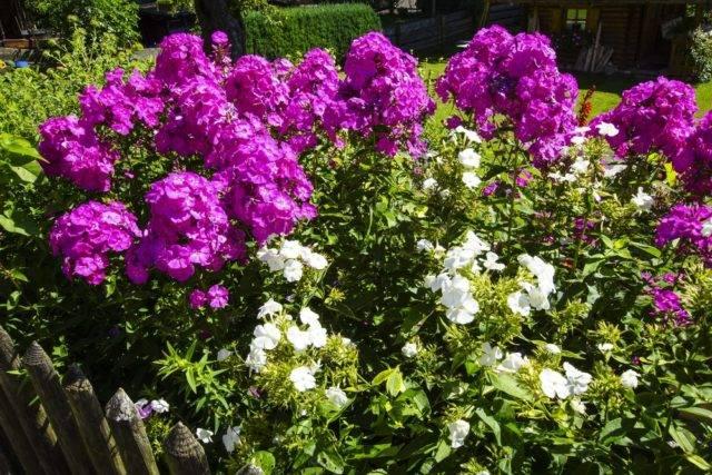 naturalny odstraszacz ślimaków floksy (kwiaty)