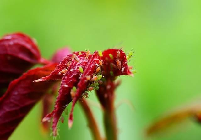 szkodniki róż mszyce
