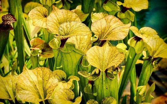 Kapturnica intrygująca roślina owadożerna