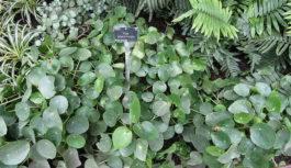 Pilea łatwy w uprawie kwiat doniczkowy