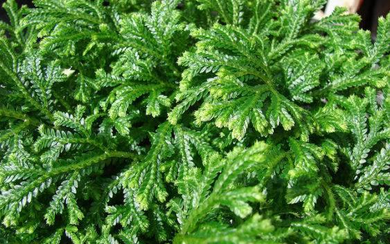 Widliczka (Selaginella) roślina o ozdobnych liściach