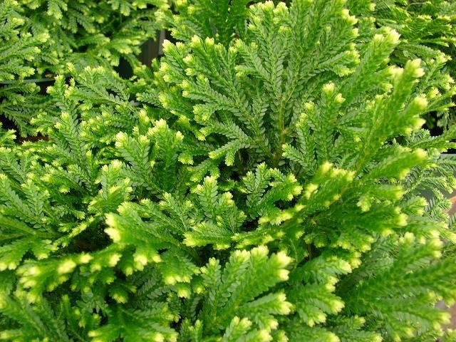 roślina doniczkowa widliczka