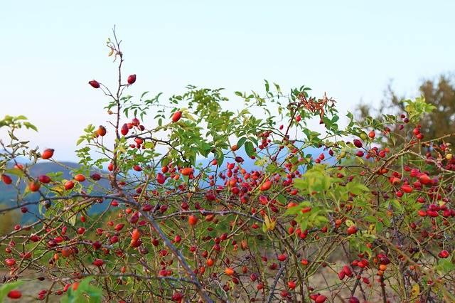 podział ziół na zastosowanie hebratki dzika róża