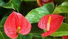 Kwiat anturium – pielęgnacja, choroby, rozmnażanie