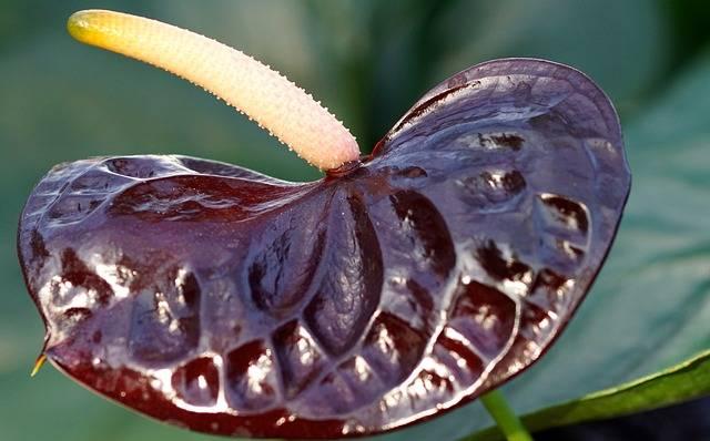 anturium roślina