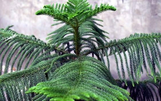 Roślina doniczkowa Araucaria wyniosła