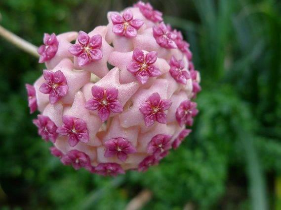 Najpopularniejsze odmiany hoji rośliny doniczkowej