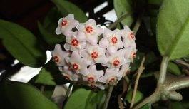 Hoya roślina doniczkowa