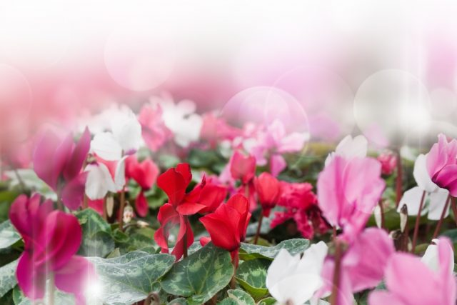 Cyklamen perski (fiołek alpejski)
