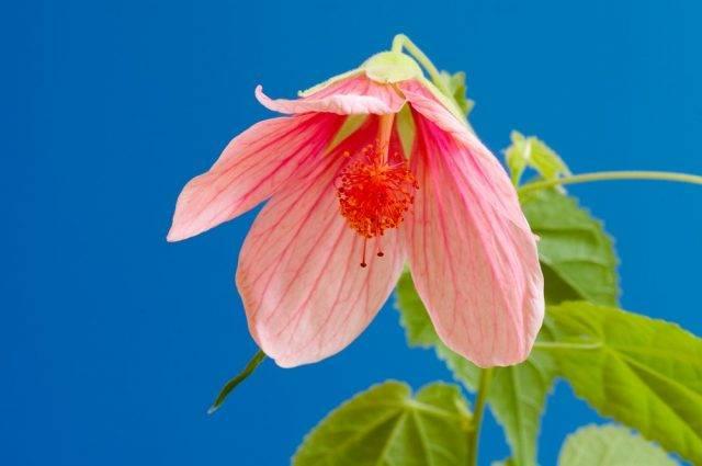 Zaślaz mieszańcowy klonik różowy