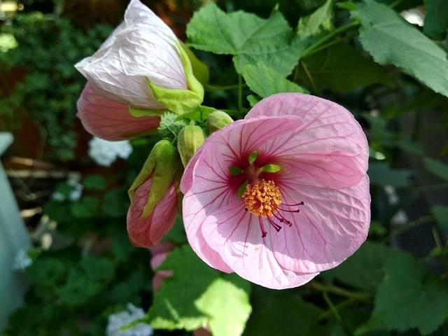 kwiat klonik pokojowy abutilon