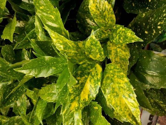 aukuba japońska roślina doniczkowa