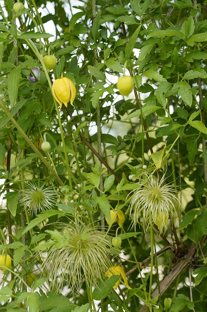 powojniki botaniczne żółte