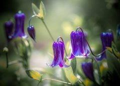Powojniki botaniczne