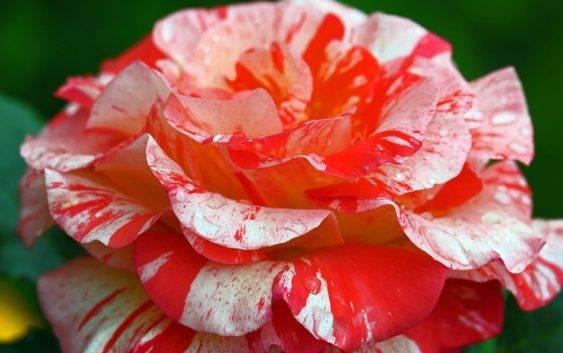 Róża (roślina)
