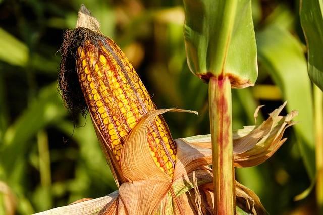 jesienne prace w ogrodzie zbiór kukurydzy