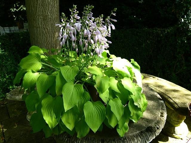 kwiaty doniczkowe cieniolubne funkie