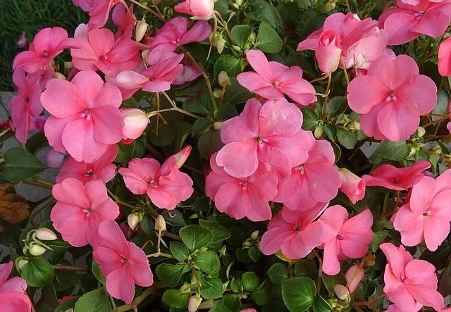 kwiaty doniczkowe cieniolubne niecierpek