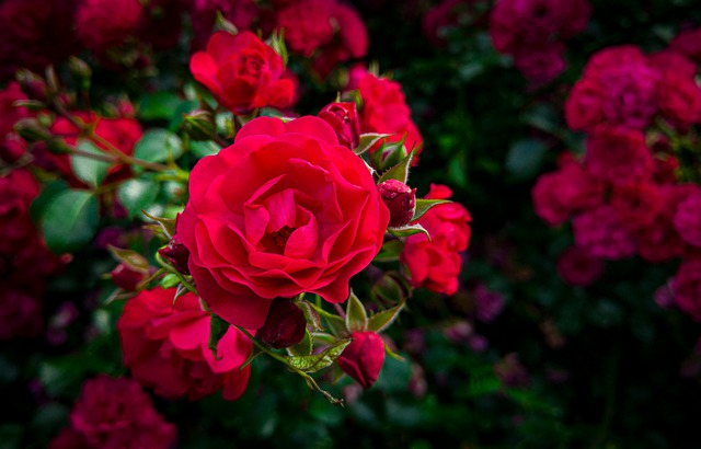 róże ogrodowe czerwone