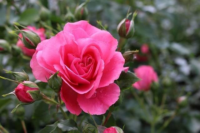 róże ogrodowe najpopularniejsze rośliny w ogrodzie