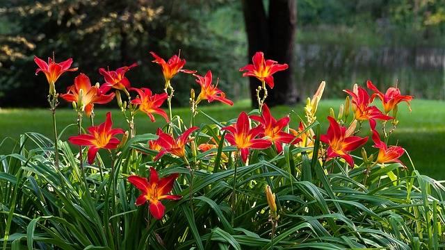 Liliowce przycinanie uprawa kwitnienie choroby