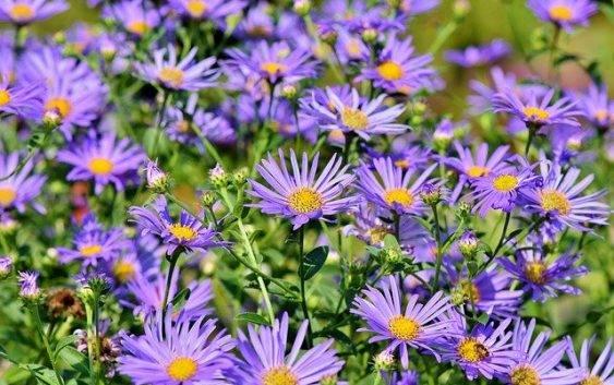 Kwiaty astry