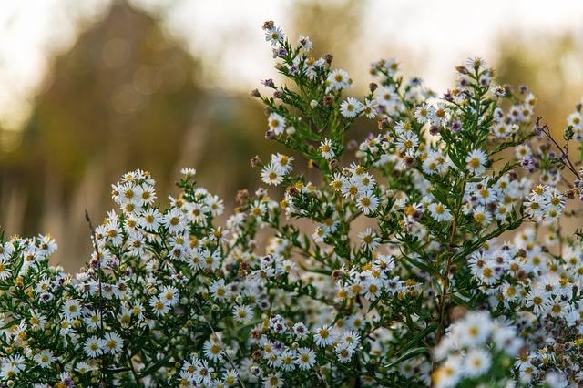 kwiaty astry białe