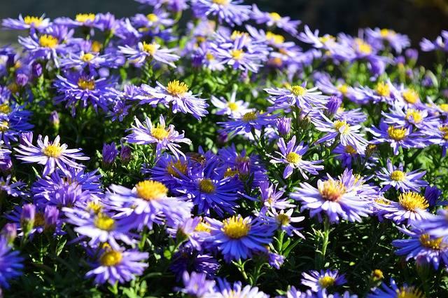 kwiaty astry niebieskie