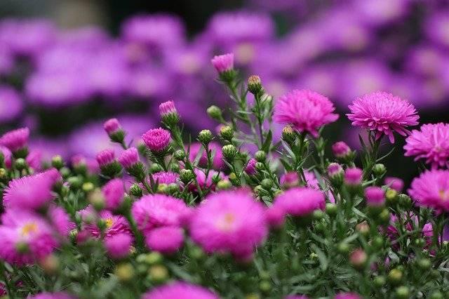 kwiaty astry rózowe