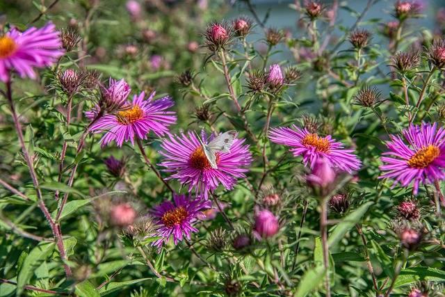 kwiaty astry rośliny bylinowe