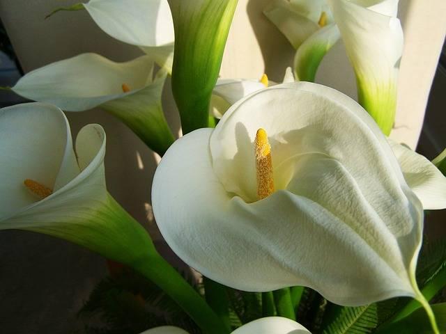 kwiaty na cmentarz calla
