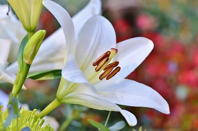 kwiaty na cmentarz lilia wielkanocna