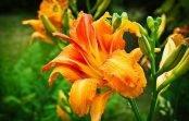 Liliowce przycinanie uprawa kwitnienie