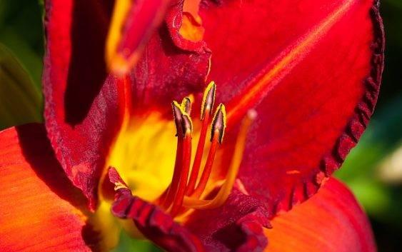 Jak sadzić liliowiec ogrodowy?