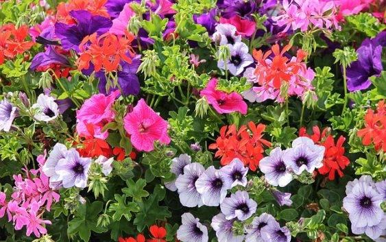 Kwiaty Na Sloneczny Balkon Lista Z Krotkim Opisem Roslin Na Balkon